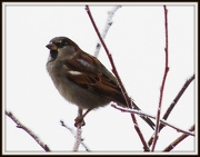 17th Jan 2013 - It's cold for sparrows