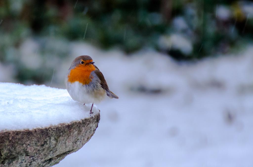 robin redbreast by peadar