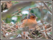 19th Jan 2013 - Chaffinch in the tree