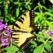 Swallowtail by allie912