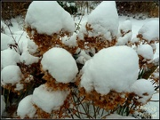 20th Jan 2013 - Hydrangea