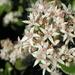 Jade Plant in Bloom by pasadenarose
