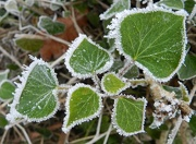 20th Jan 2013 - Frost Fringed Leaves