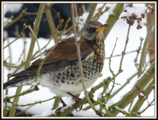 A Fieldfare in the garden by rosiekind