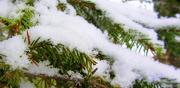 21st Jan 2019 - Snowy fir   21.1.13