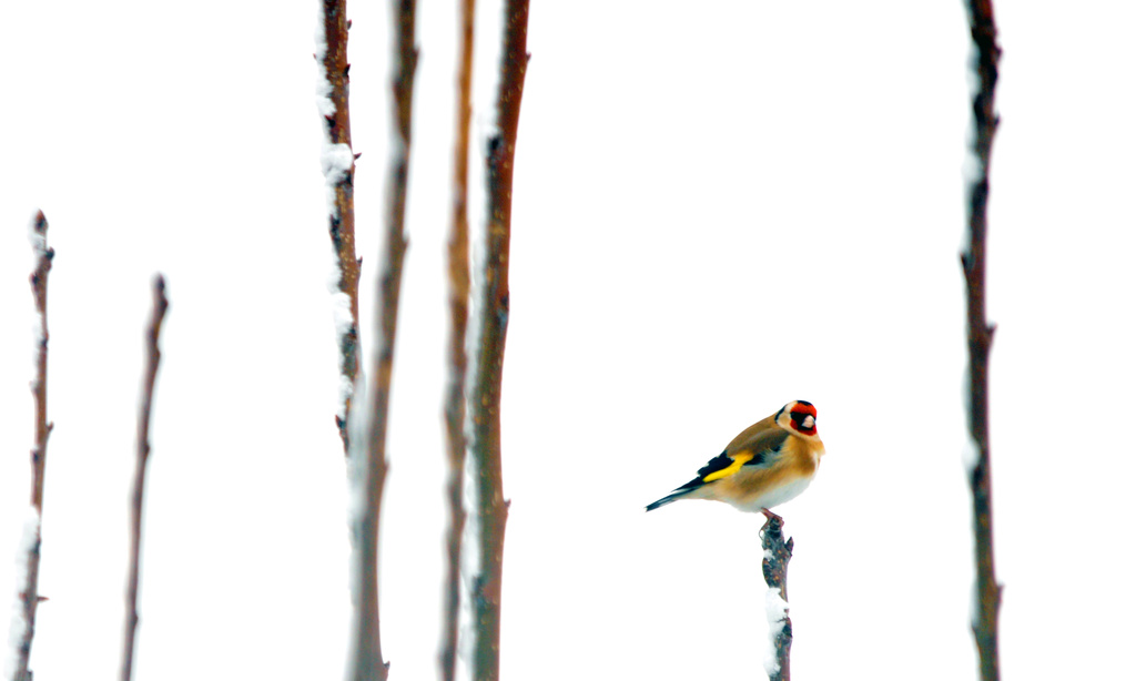 Goldfinch looking for food by seanoneill
