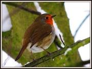 21st Jan 2013 - Robin at work