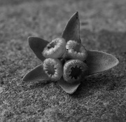 20th Jan 2013 - omphaloides seed pod
