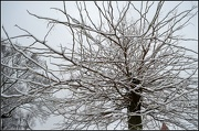 22nd Jan 2013 - Tree Of Snow