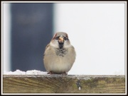 22nd Jan 2013 - Sparrow on the fence