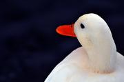 22nd Jan 2013 - Duck