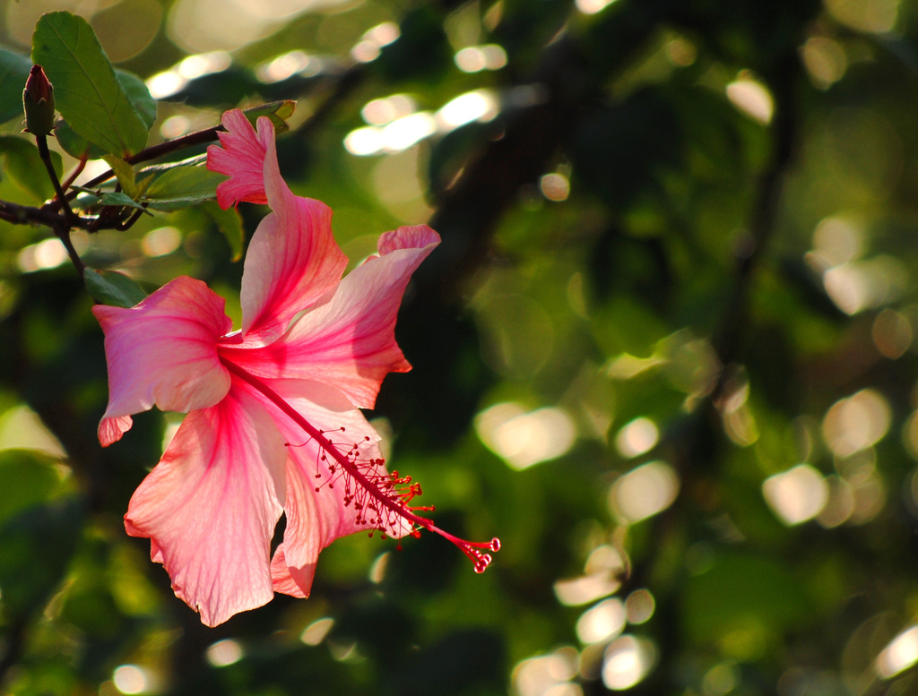 Lit Up Hibiscus with Bokeh by alophoto