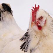 21st Jan 2013 - frozen chicken