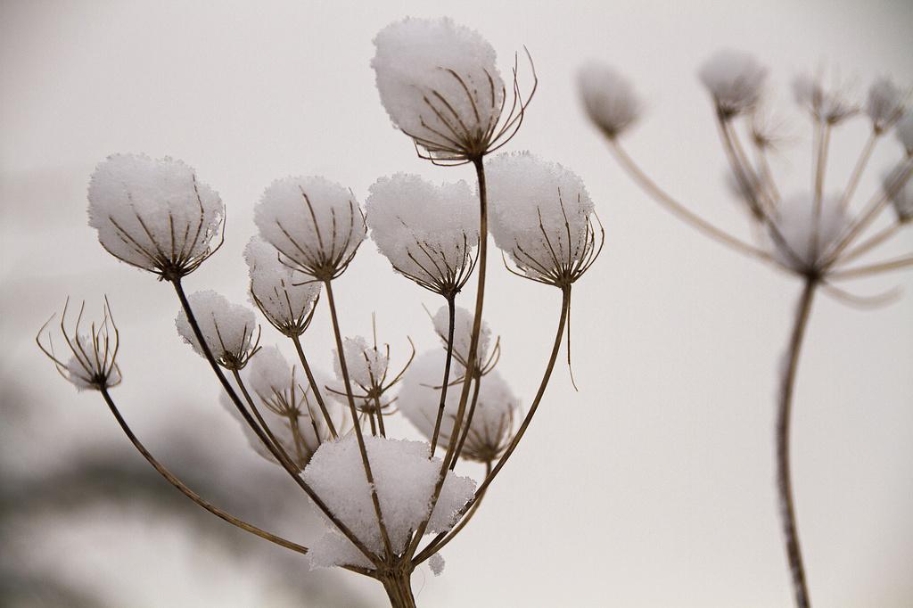 natural snowballs by jantan