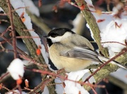 23rd Jan 2013 - Chickadee