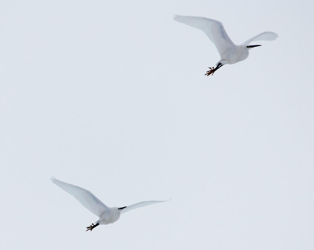 Egrets in flight by judithg
