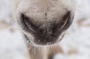 23rd Jan 2013 - snowy muzzle