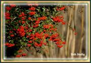 30th Dec 2012 - Red Berries