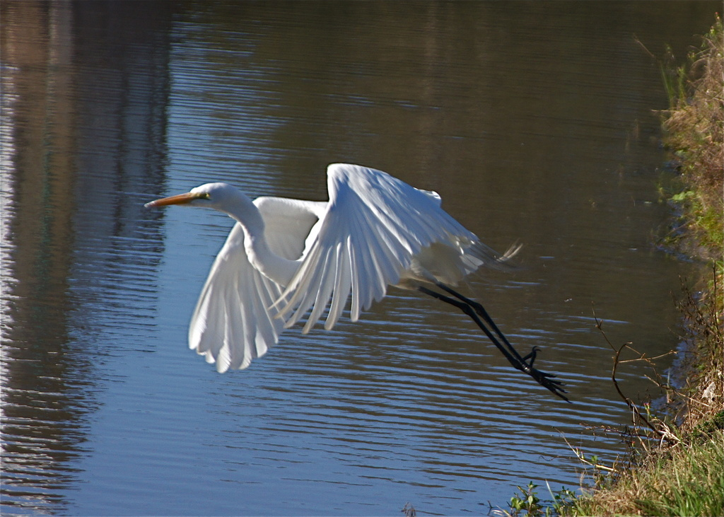 Flight of the Snowy Egret by rob257