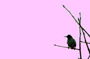 25th Jan 2013 - Starling in a tree