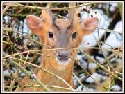25th Jan 2013 - Little Deer