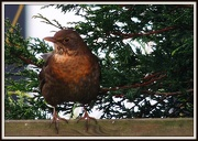 26th Jan 2013 - Mrs Blackbird