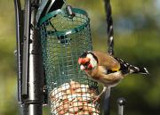 26th Jan 2013 - RSPB big garden bird watch - goldfinch