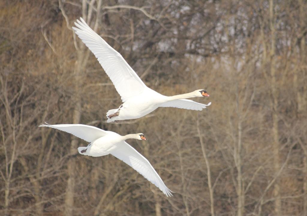 Two Swans by landownunder