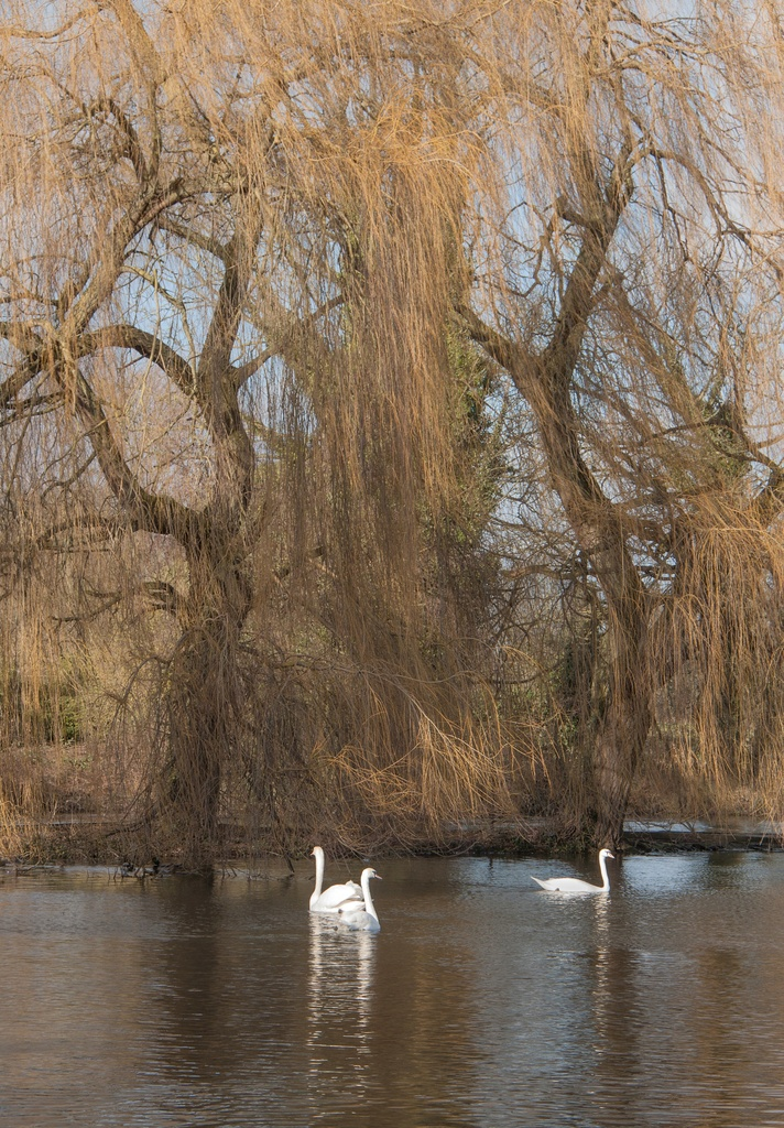 Willows with swans by dulciknit