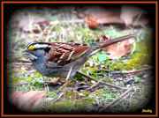 4th Jan 2013 - White Throated Sparrow
