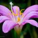 Rain lily by bella_ss