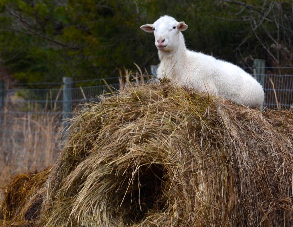 Ram sitting on the hay roll by kathyladley