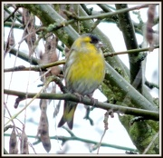 30th Jan 2013 - Siskin