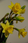 30th Jan 2013 - First Daffodils