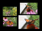 3rd Aug 2010 - Monarch