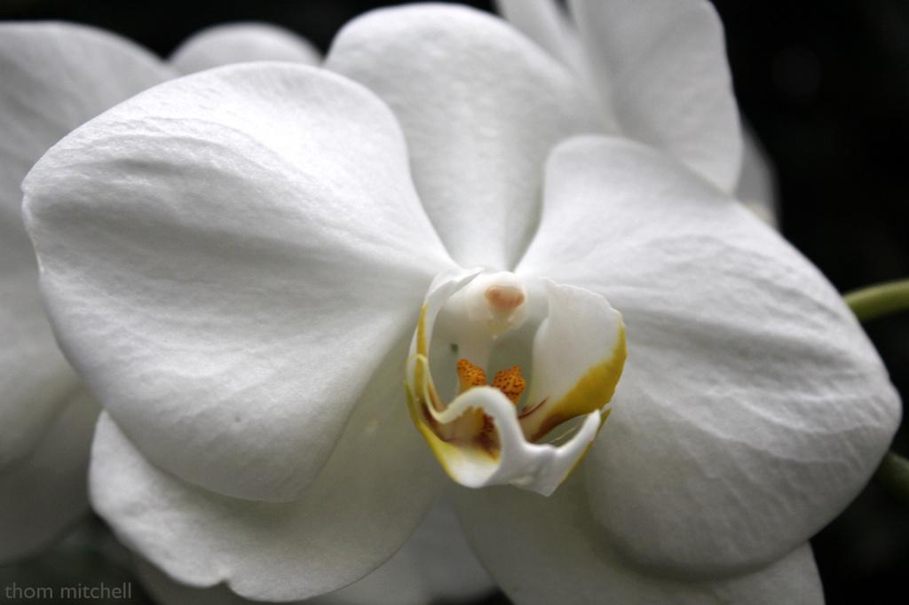 Phalaenopsis II by rhoing
