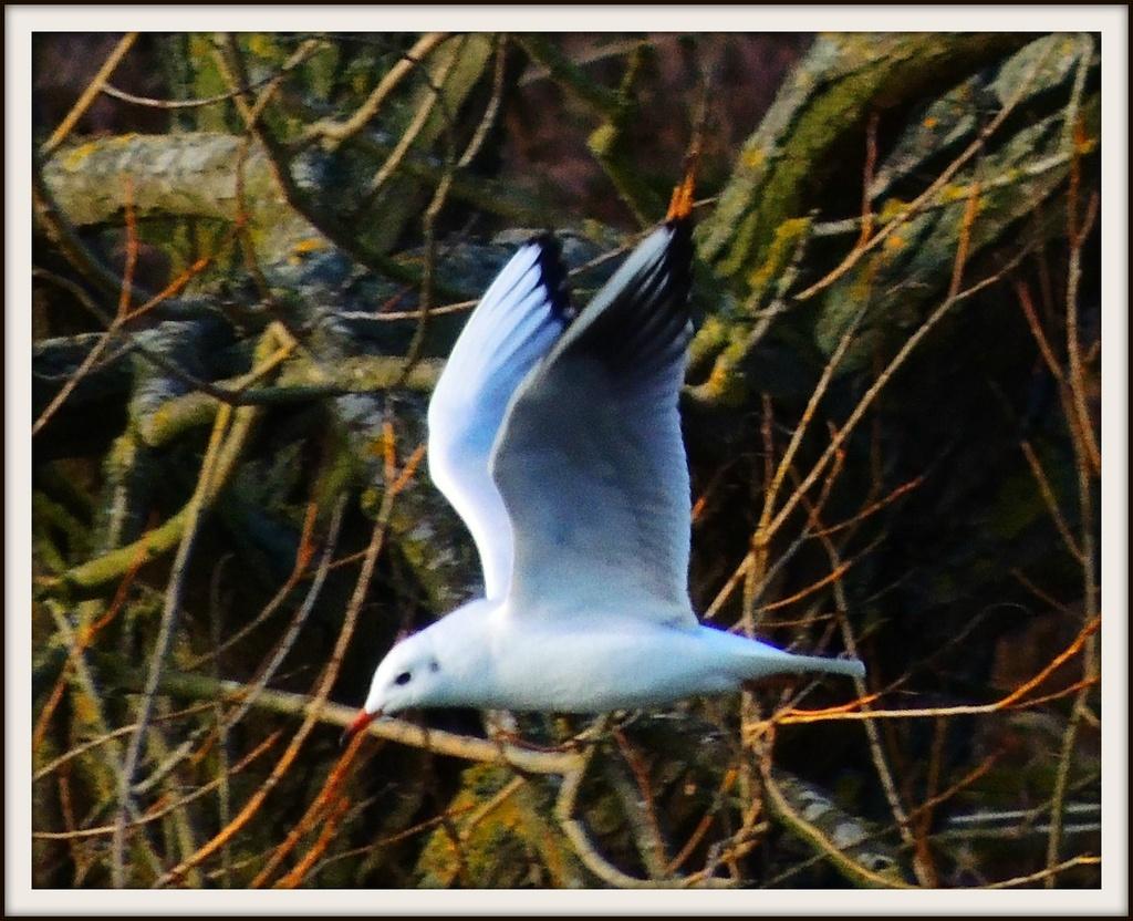 Flying Gull by rosiekind