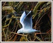31st Jan 2013 - Flying Gull