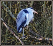 31st Jan 2013 - Hello Heron