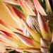 Protea by cdonohoue