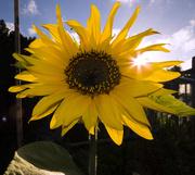 31st Jan 2013 - sunflower