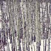 31st Jan 2013 - Birch