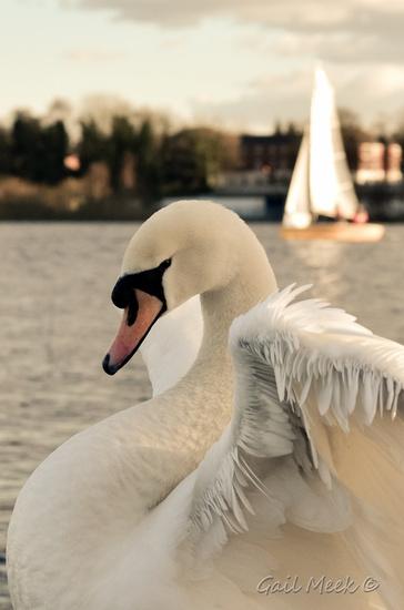 Sullen Swan by gailmmeek
