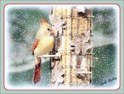 8th Jan 2013 - Female Cardinal