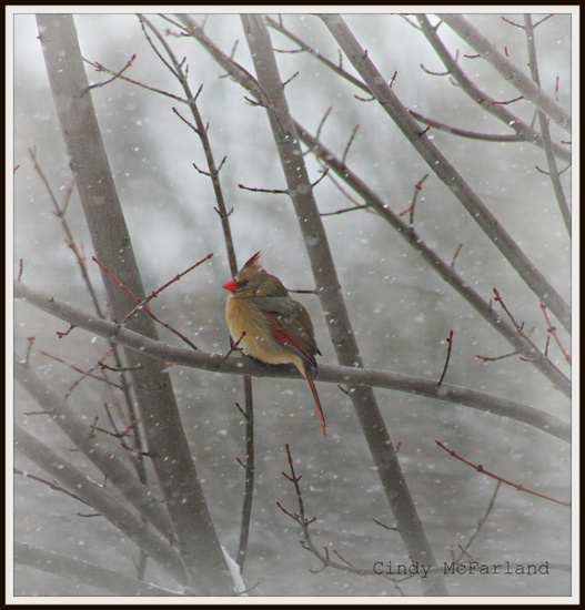 Cardinal in the Snow by cindymc