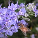 Bee in Rosemary? by pasadenarose