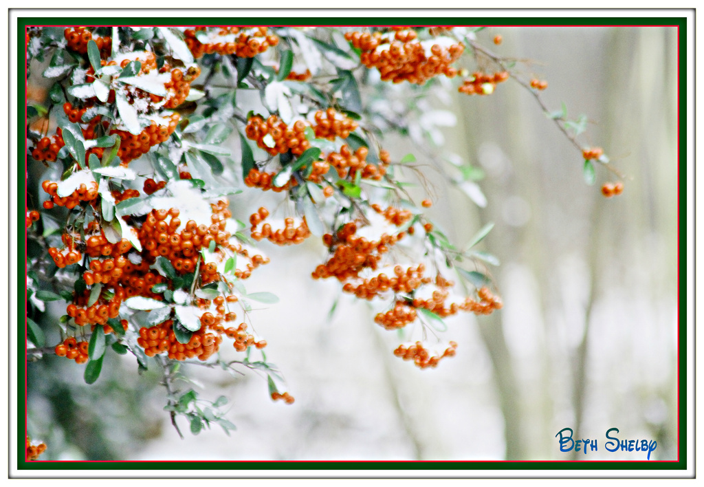 Berries in the snow by vernabeth