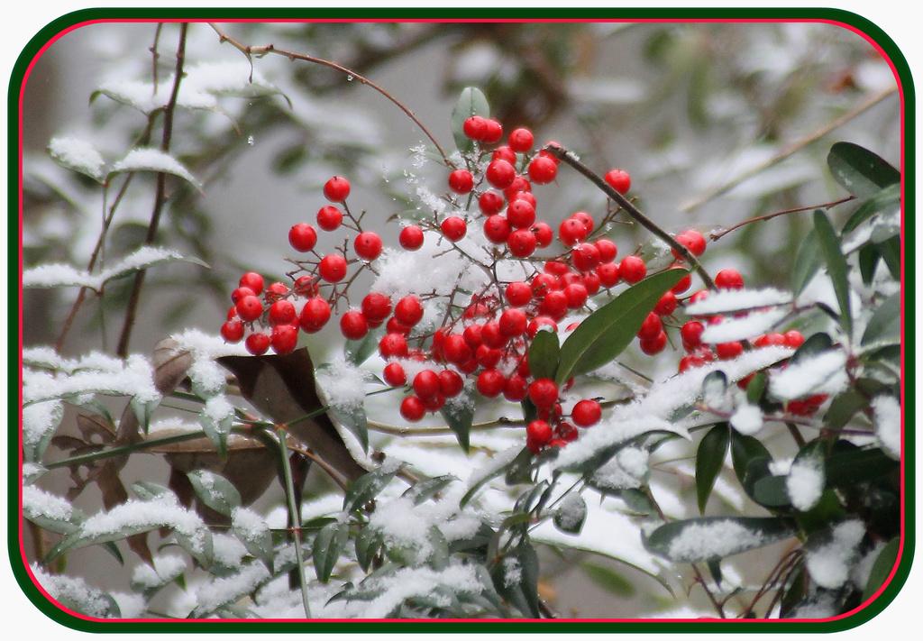 More Snow Berries by vernabeth