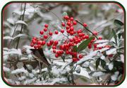10th Jan 2013 - More Snow Berries