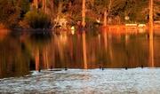 2nd Feb 2013 - Cormorants swimming in sunset.